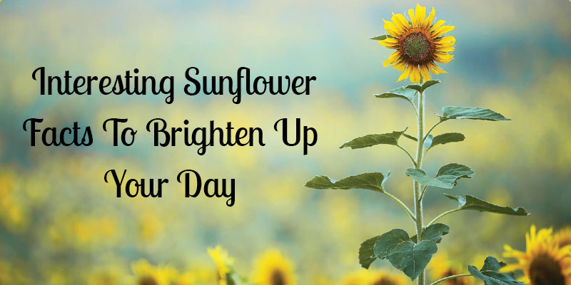 Interesting Sunflower Facts