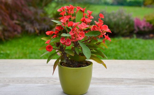 Crown of Thorns Plants