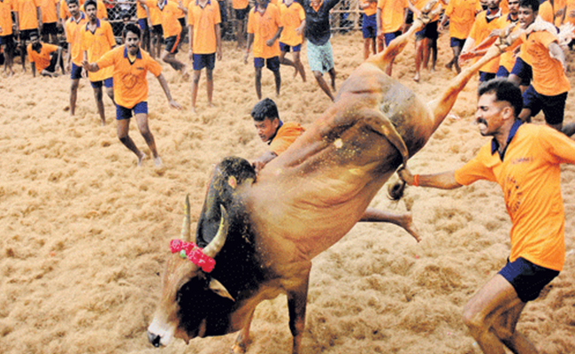 jallikattu bull festival in Chennai