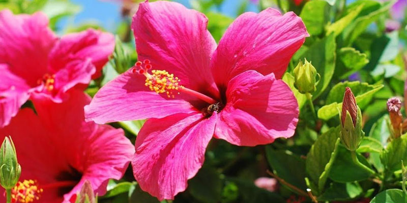 All About Hibiscus Flowers