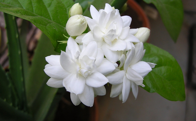 Beat The Summer Heat With Arabian Jasmine