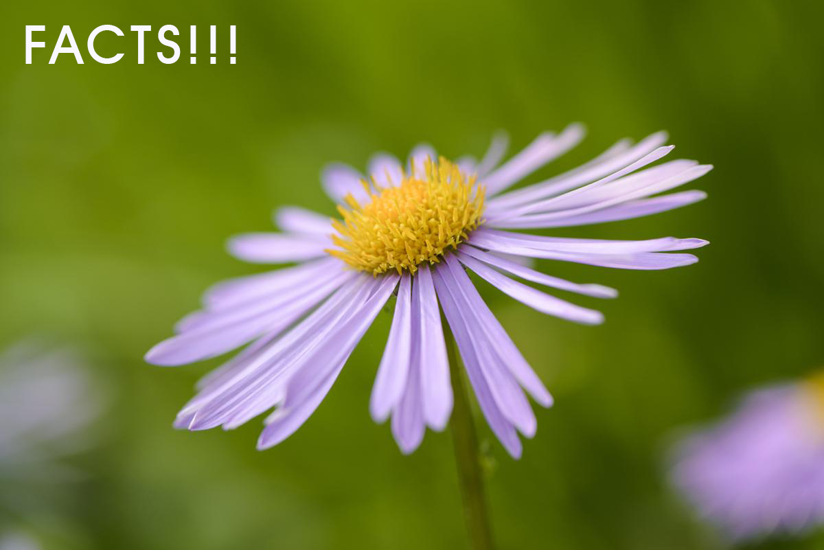 Aster Meanings and Symbolisms