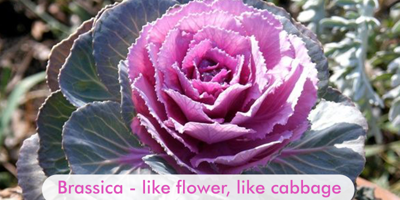 Brassica - Like Flower, Like Cabbage