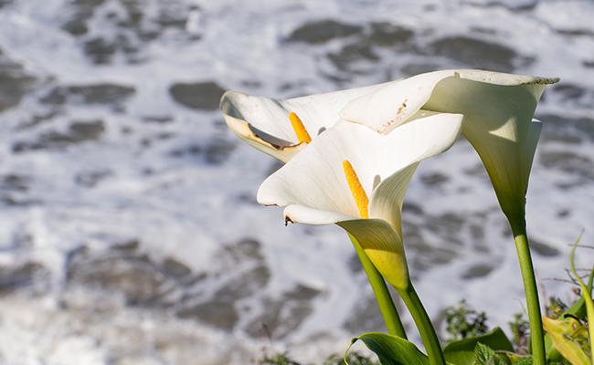 Calla Lily According to Greek Mythology