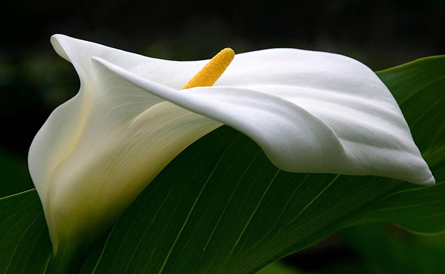 Calla Lily - All You Need to Know