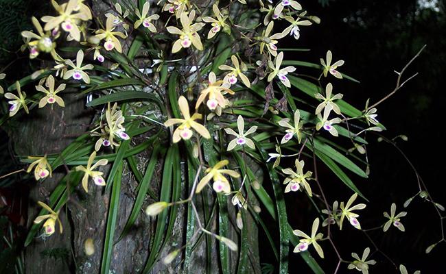 Encyclia Orchids