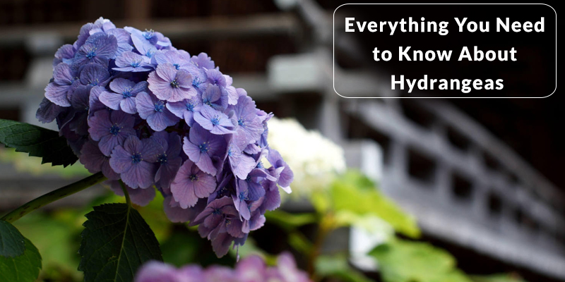 Everything You Need to Know About Hydrangeas