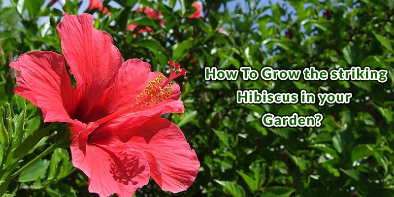 Grow the Striking Hibiscus in your Garden