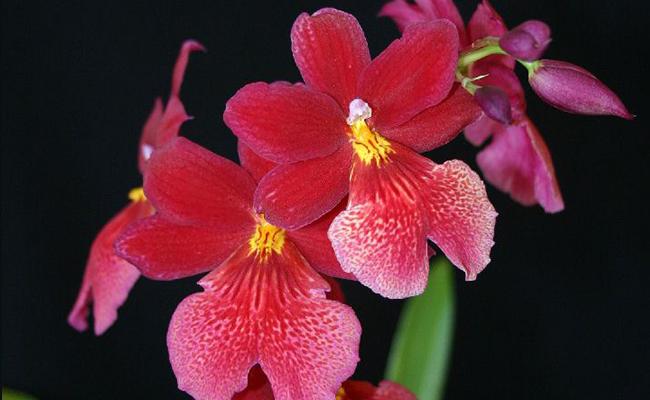 Intergeneric Orchids