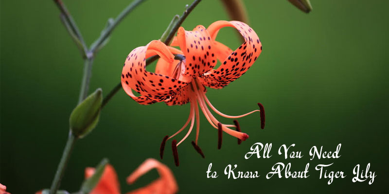 About Tiger Lily