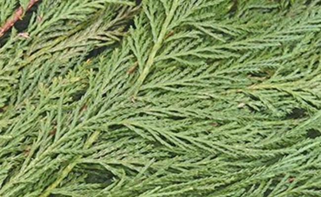 Leyland Cedar