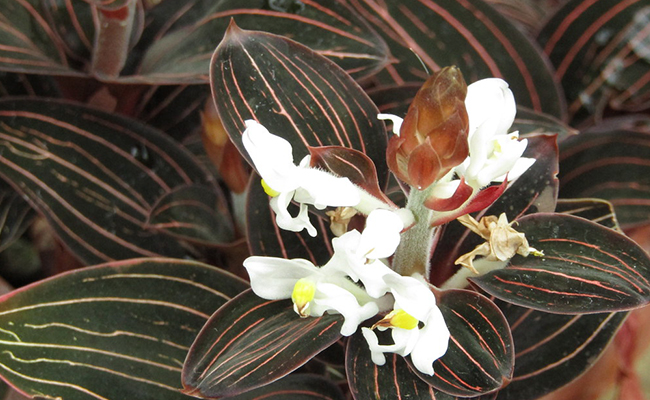 Ludisia Orchids