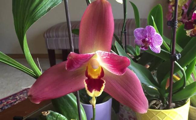 Lycaste Orchids