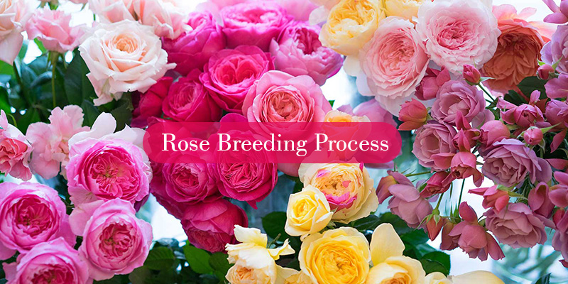 Process of Breeding Roses