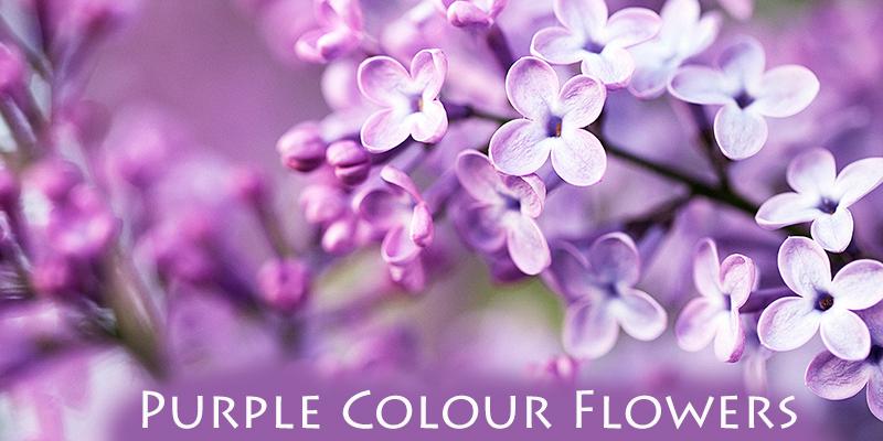Purple Colour Flower Names