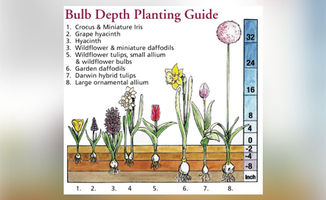 Right Way of Planting Bulbs