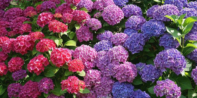 Tips to Make Hydrangeas Bloom
