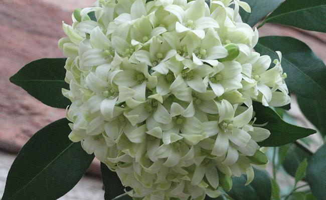 Use of Kamini Flower