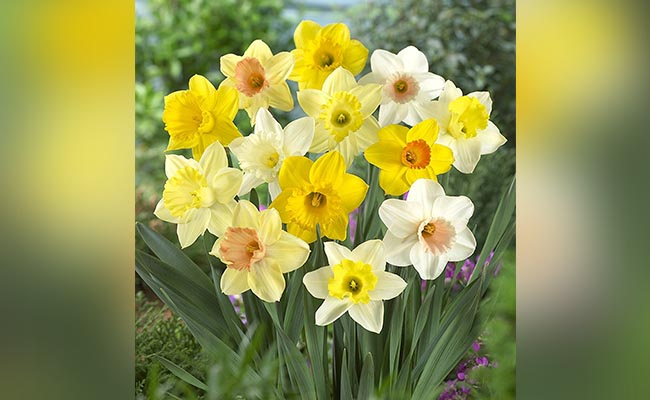 Why Narcissus Flower So Special