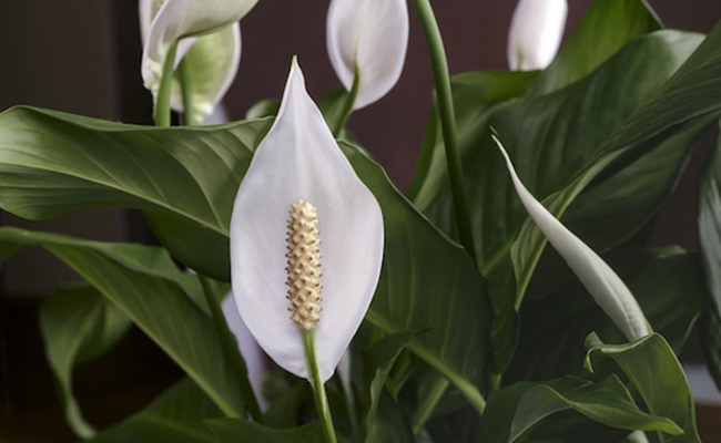 Peace Lily for Your Home