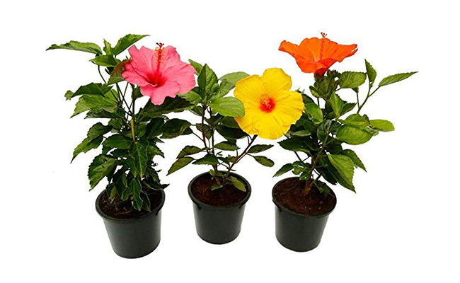 Hibiscus Plants For Home