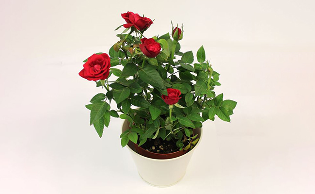 Decorative Rose Plant