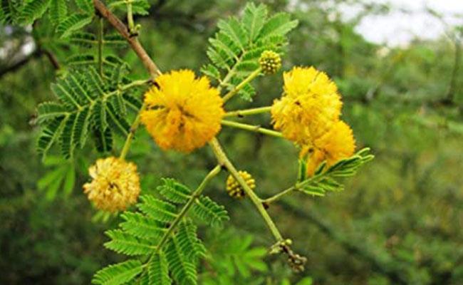 Babul Plant