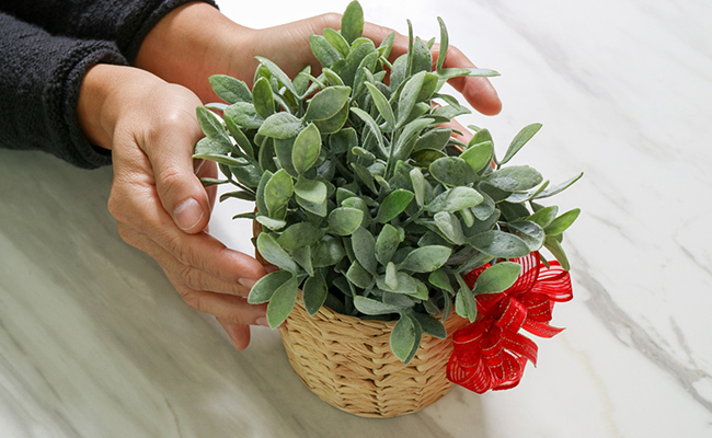Gift Indoor Plants