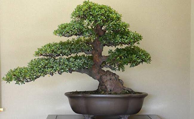 800 year Old bonsai
