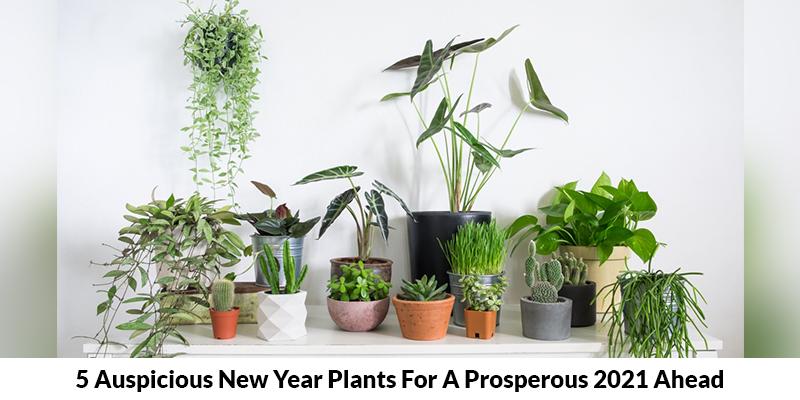 Auspicious New Year Plants