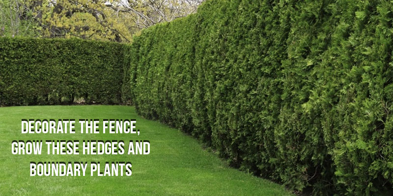 Decorate The Fence, Grow These Hedges And Boundary Plants