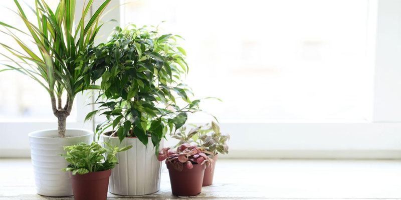Lucky Indoor Plants that Bring Positive Energy in Home