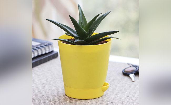 Mini Aloe