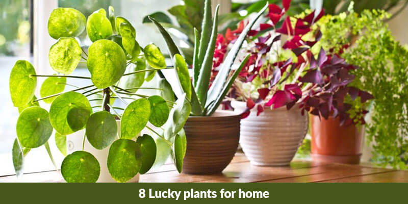 8 Lucky plants for home