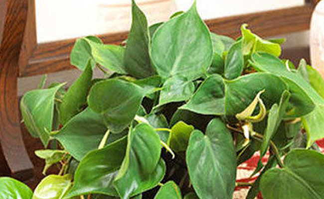 Green Philodendron
