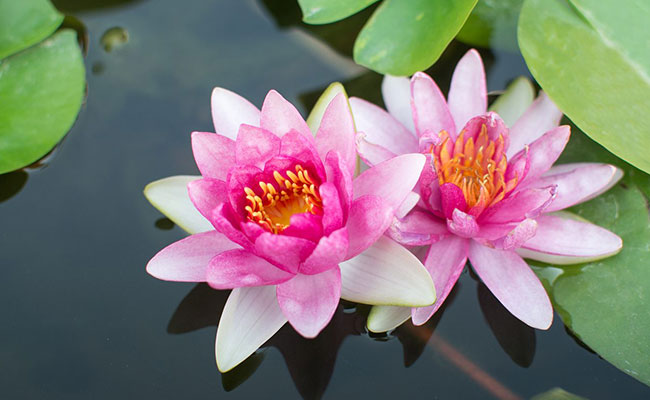 About Lotus Flower