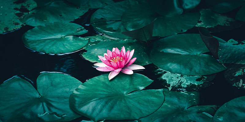 Lotus Flower Information
