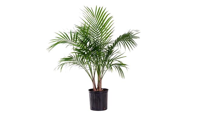 Palms Plants