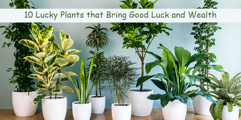 Lucky Plants that Bring Good Luck and Wealth