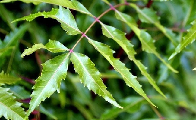 Neem Leaves
