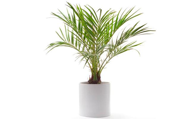Dwarf Dates Plant