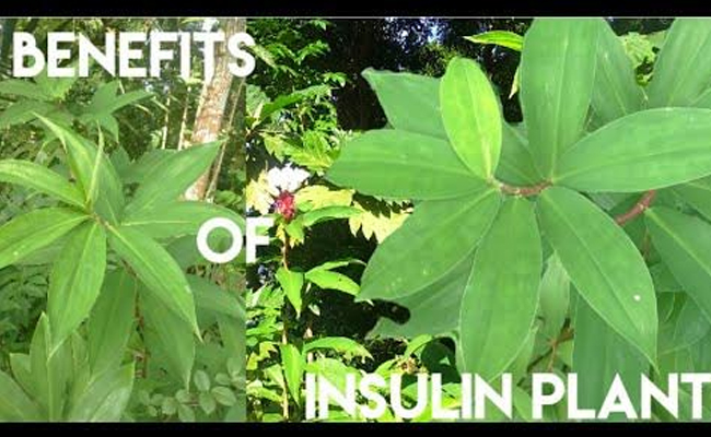 Benefits of Insulin Plants