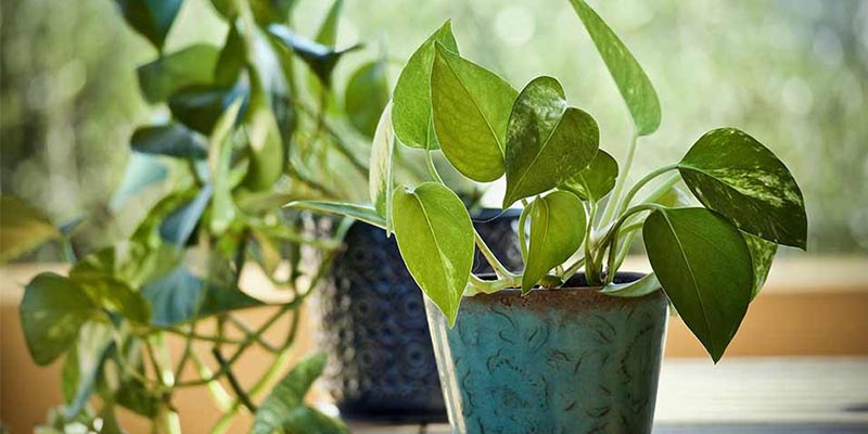 Benefits of Money Plant