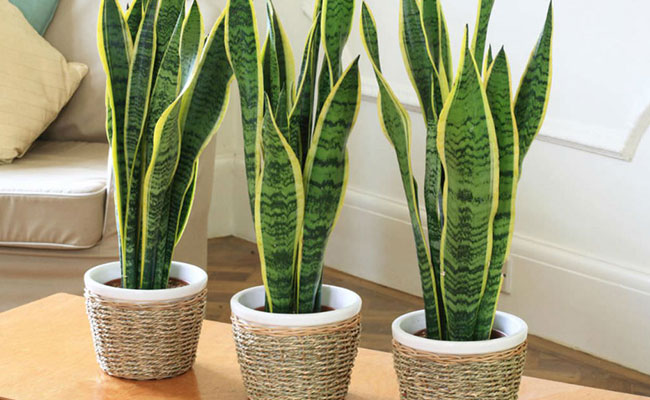 Sansevieria Benefits