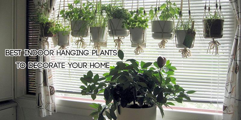 Best Indoor Hanging Plants to Decorate Your Home