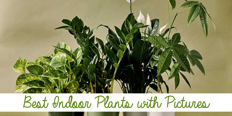 Best Indoor Plants with Pictures