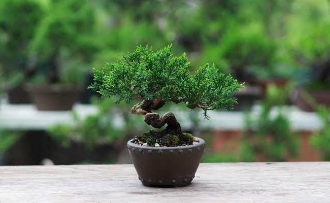 Vital Information About Bonsai Plants