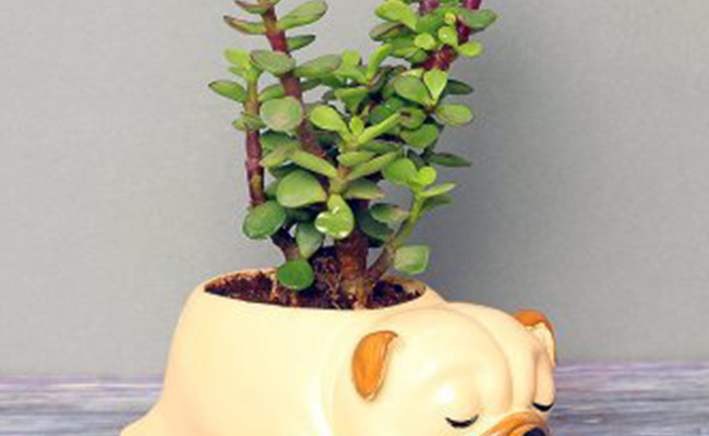 Dazzling Jade Plant