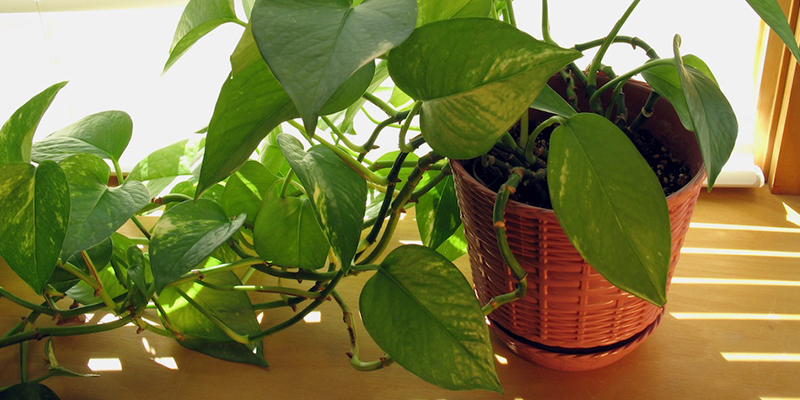 Facts About Money Plants