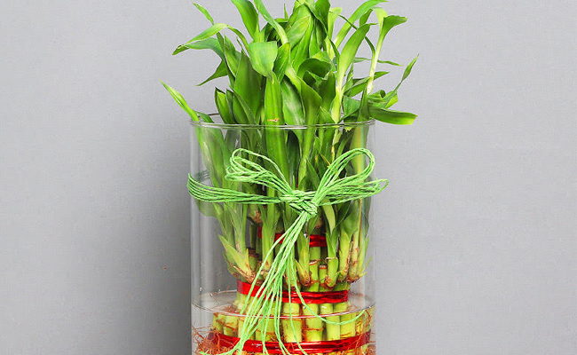 Lucky Bamboo and the 5 Feng Shui Element